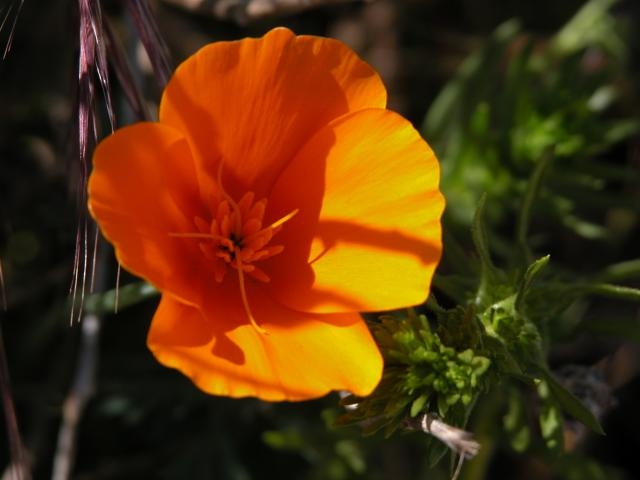 California Poppy (Eschscholzia Californica Papaveraceae)