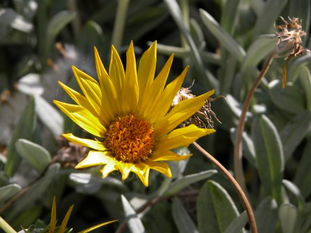Yellow Trailing Gazania (gazania rigens)